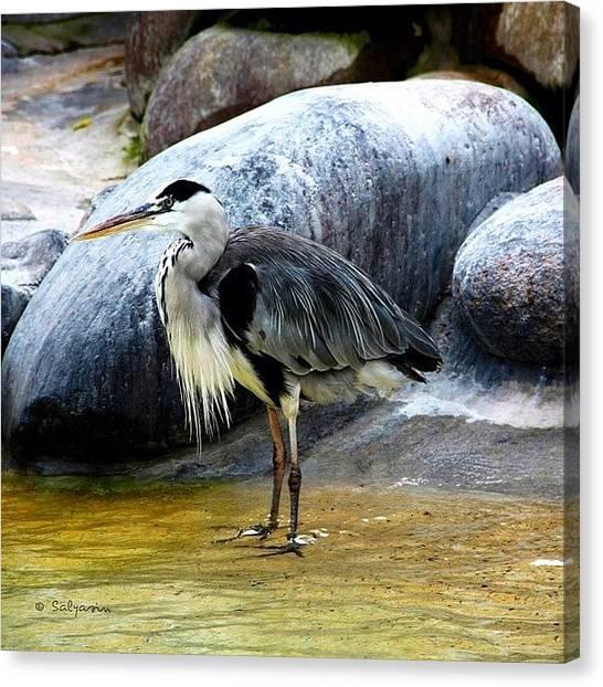 Herons Canvas Print - #heron #egret #bird #animal #gray #grey by Sylvia Kepler-Albert