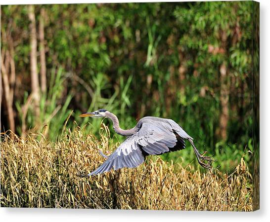 Heron Flying Along The River Bank Canvas Print