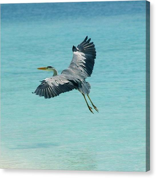 Turquoise Canvas Print - Heron In Maldives by Jo Shaw