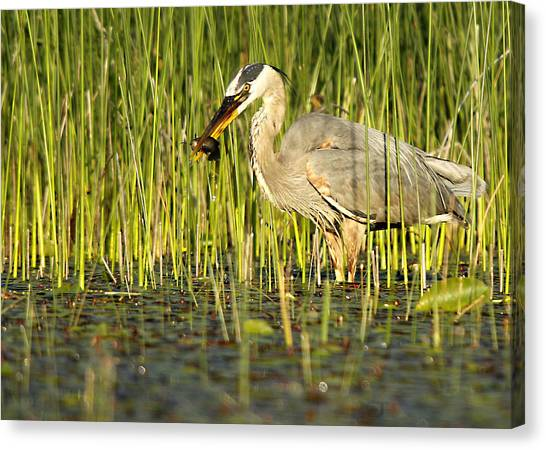 Heron's Snack Canvas Print