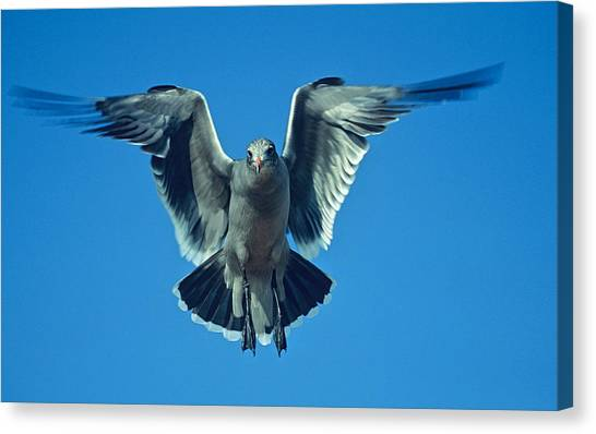 Herring Gull In Hummingbird Mode Canvas Print