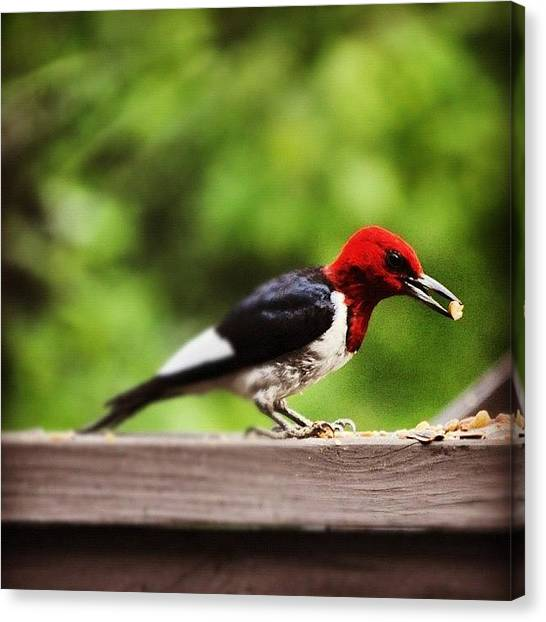 Woodpeckers Canvas Print - He's Back For More Snacks! #alabama by Molly Slater Jones