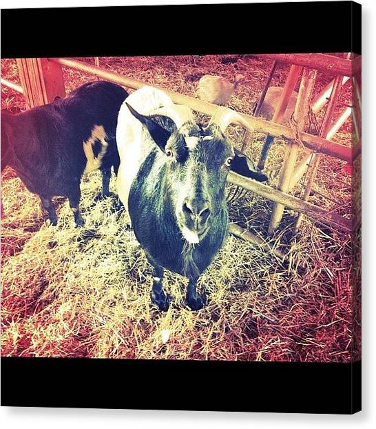 Farm Animals Canvas Print - Hey Mr. Billy Goat by Sidney Zirbes