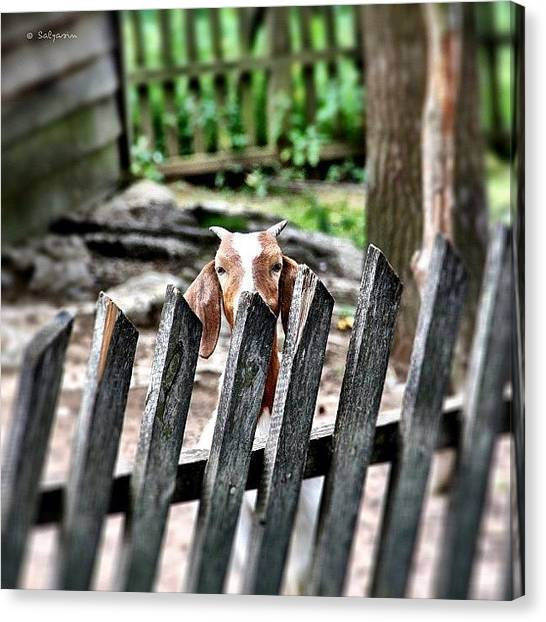 Goats Canvas Print - Hey, What's Up?!? ~ Tags: #goat by Sylvia Kepler-Albert