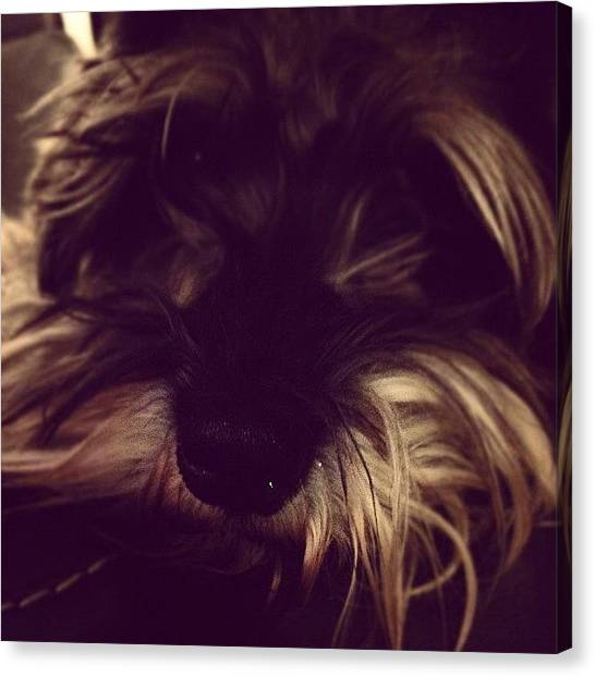 Schnauzers Canvas Print - Hi, My Name Is Parker by Christy I