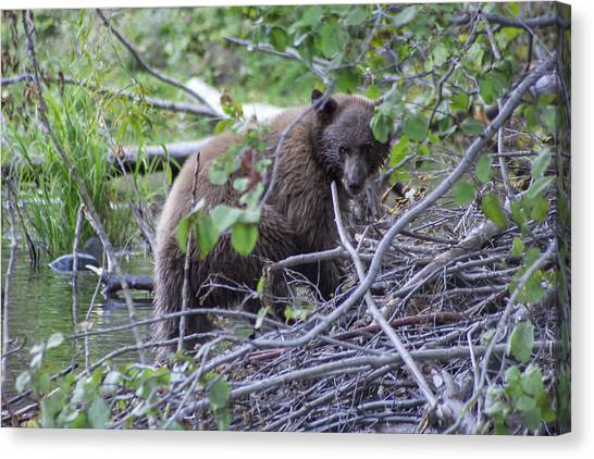 Brown Bears Canvas Print - Hibernation Bound by Brad Scott