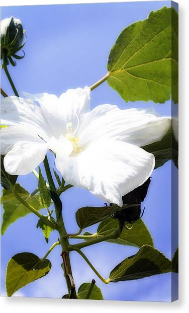 Hibiscus -1 Canvas Print by Alan Hausenflock