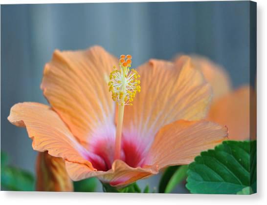 Hibiscus 5 Canvas Print
