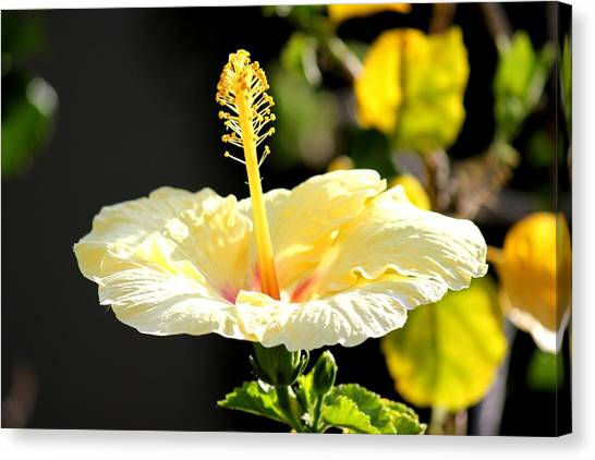 Hibiscus Rising Canvas Print