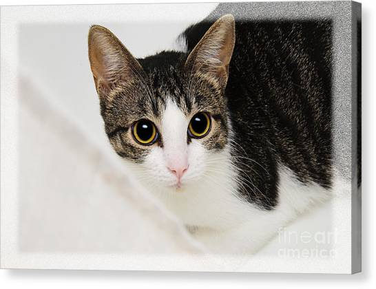 Main Coons Canvas Print - Hiding In The Bath Tub by Andee Design
