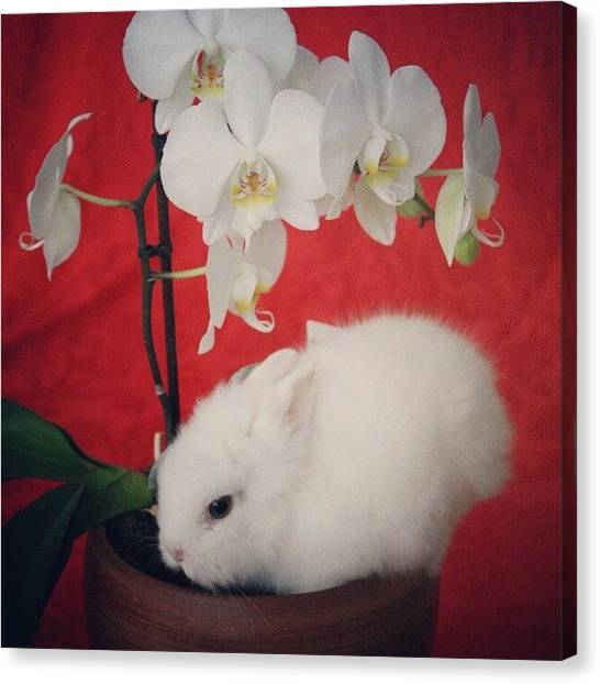 Rabbits Canvas Print - Hiding In The Orchid by Maria Venelinova