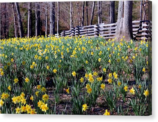 Hills Of Daffodils Canvas Print