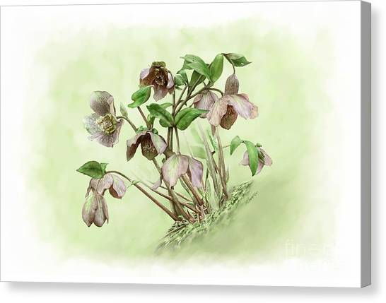 Hillside Hellebores Canvas Print