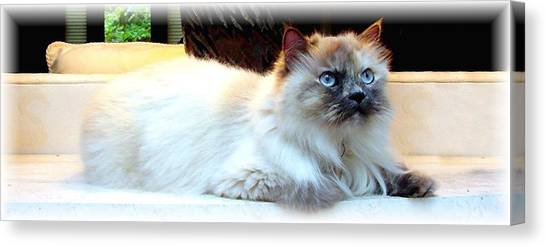 Manx Cats Canvas Print - Himalayan Beauty by Kathleen Horner