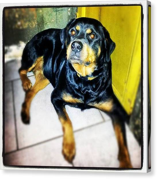 Rottweilers Canvas Print - Hina  Ma Chienne by Branchard  Arnaud