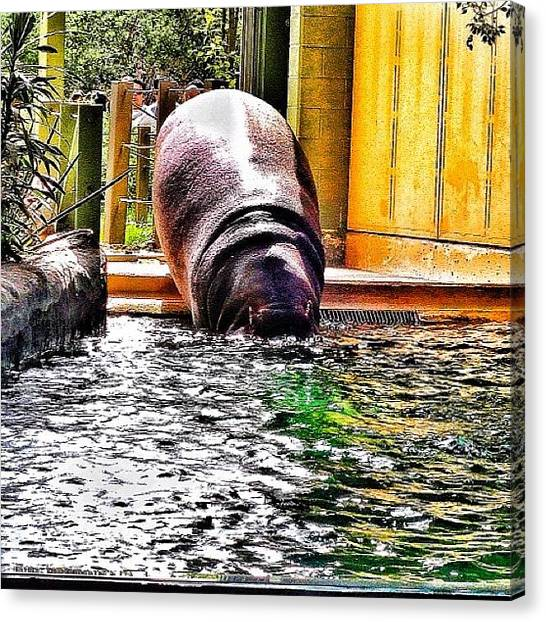 Hippos Canvas Print - #hippo Going For A Swim by Natasha Taylor