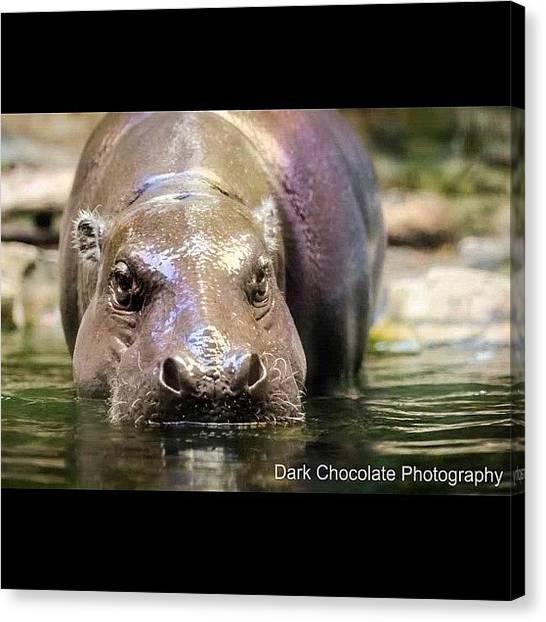 Hippos Canvas Print - Hippo Hippo Hippo Hippopotamus by Zachary Voo