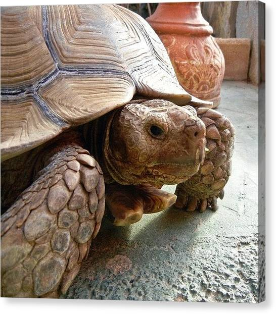 Tortoises Canvas Print - His Friend, A Giant Tortoise by Tanya Sperling