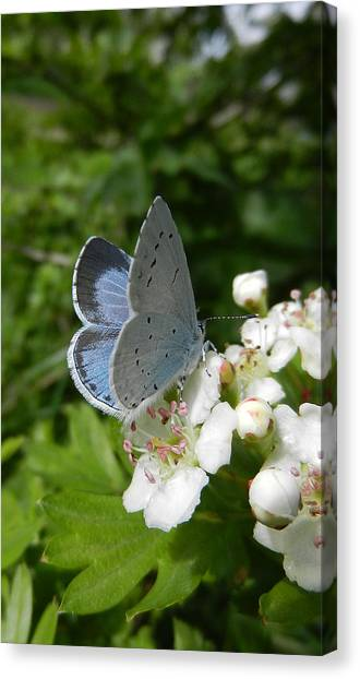 Holly Blue Canvas Print