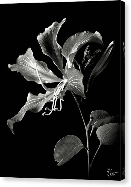 Hong Kong Orchid In Black And White Canvas Print