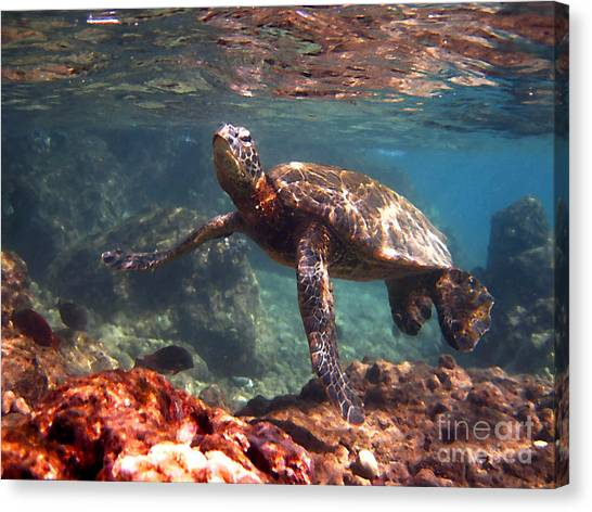 Honu In The Shallows Canvas Print