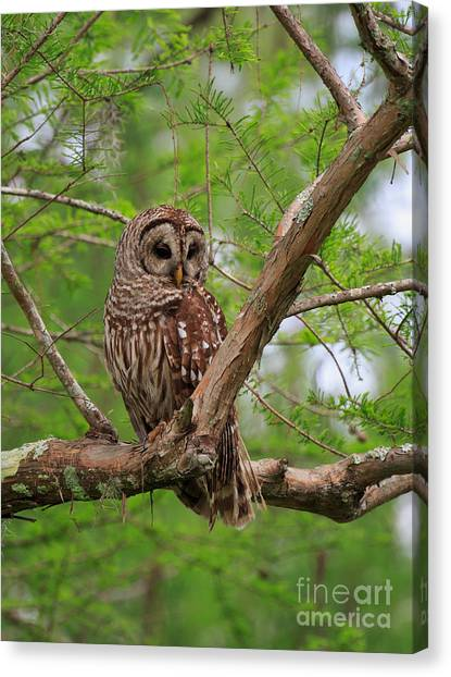 Atchafalaya Basin Canvas Print - Hoot Owl by Louise Heusinkveld