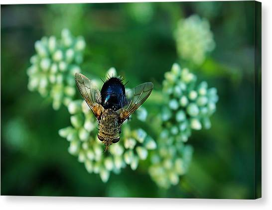 Horsefly No Bother Me Canvas Print by Beth Akerman