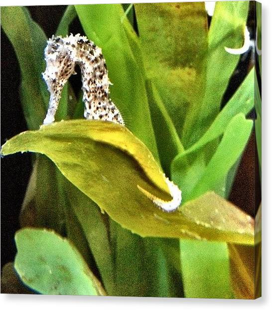 Seahorses Canvas Print - Horsin' Around #sheddaquarium #shedd by David Sabat