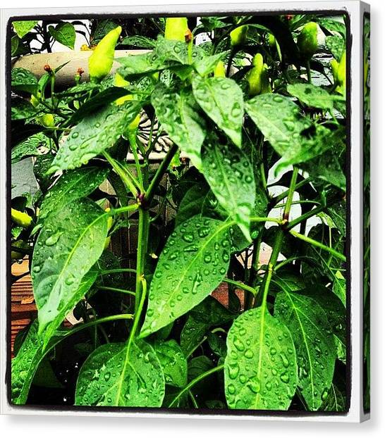 Pepper Canvas Print - Hot Peppers, 2nd Generation, Post-rain by Rob Murray