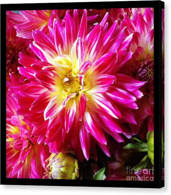 Hot Pink Dahlias Canvas Print by Ruby Hummersmith