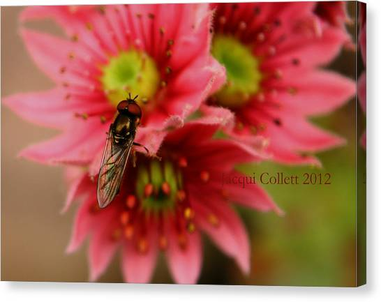 Hover Fly II Canvas Print by Jacqui Collett