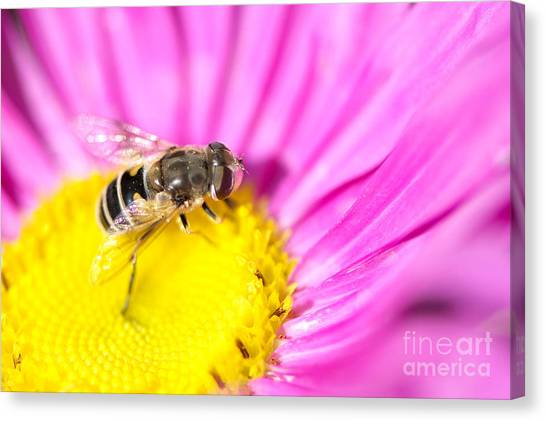 Hoverfly On Pink Aster Canvas Print by Sharon Talson