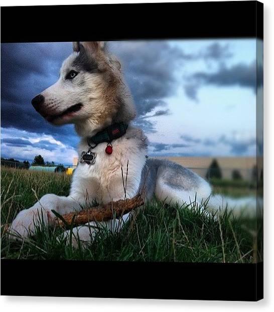 Huskies Canvas Print - #hugo #husky #dogpark #iphonesia by Kenny Jay