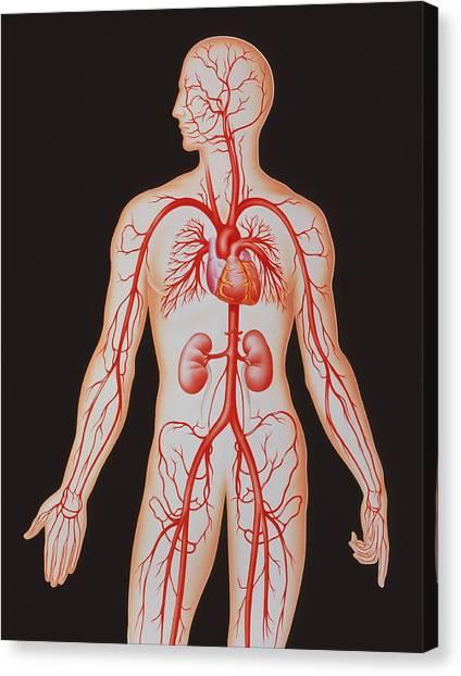 Human Arterial System Canvas Print by John Bavosi