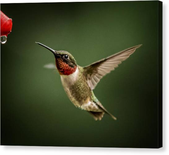 Hummer In The Garden One Canvas Print by Michael Putnam