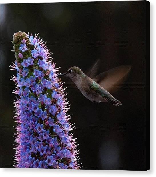 Hummingbirds Canvas Print - Humming  Bird by Jay Delavin