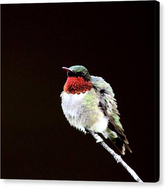 Hummingbird - Ruffled Feathers Canvas Print