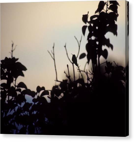 Hummingbird At Sunset Canvas Print