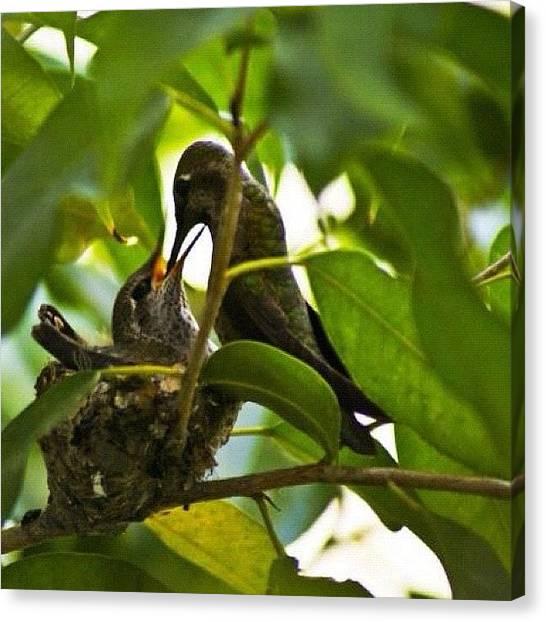 Hummingbirds Canvas Print - #hummingbird #birds #nature #ig #iphone by Uriel Gonzalez