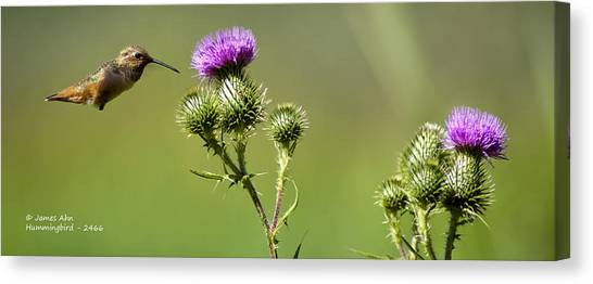 Hummingbird In Flight - Milkweed Thistle Canvas Print