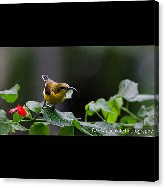 Hummingbirds Canvas Print - Hummingbird In The Rain by Zachary Voo