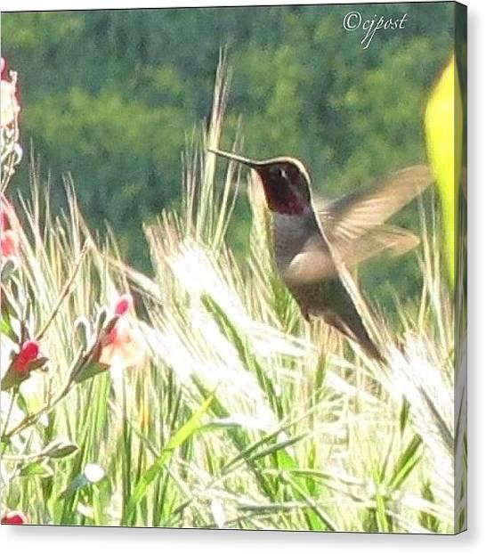 Hummingbirds Canvas Print - #hummingbird #nofilter #sunshine by Cynthia Post