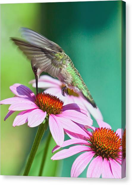 Hummingbird On Coneflower Canvas Print
