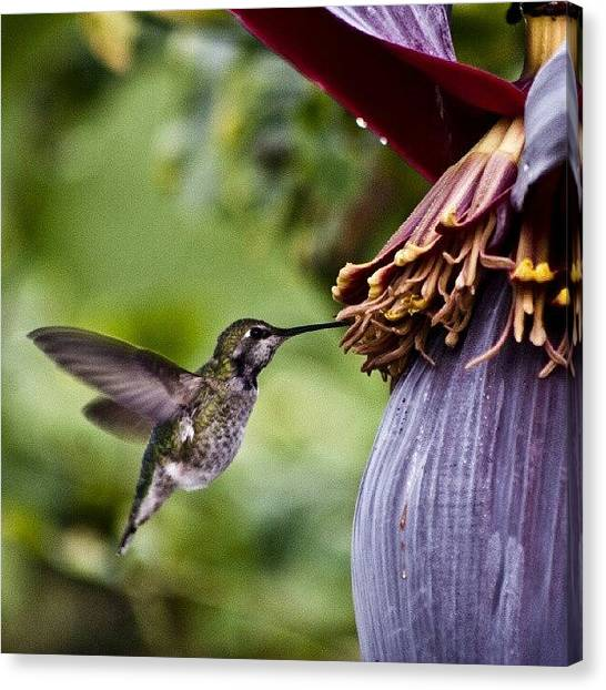Hummingbirds Canvas Print - Hummingbird. Taken With A Canon T2i by Michael Amos