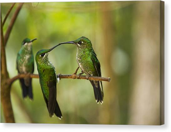 Monteverde Canvas Print - Hummingbirds, Costa Rica by Paul Souders