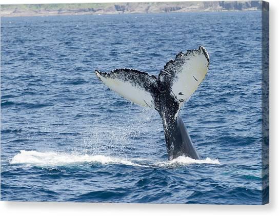 Newfoundland And Labrador Canvas Print - Humpback Whale (megaptera Novaeangliae) by Aluma Images
