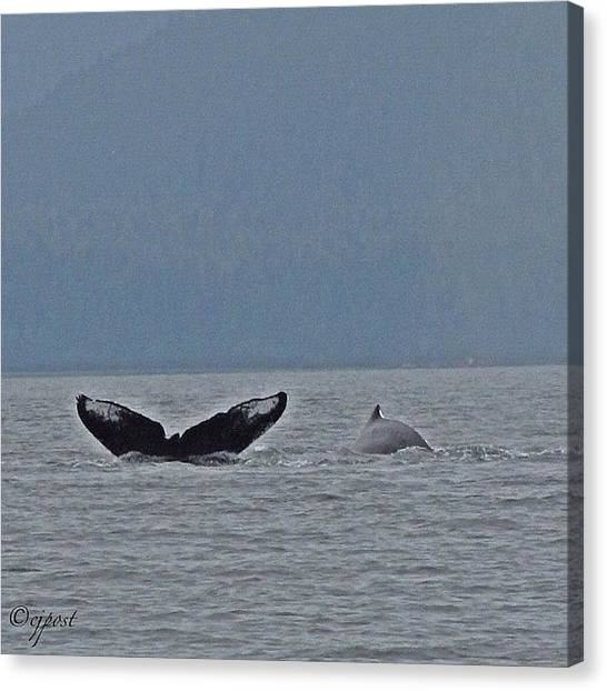 Whales Canvas Print - Humpback Whale Sighting, Near Juneau Ak by Cynthia Post