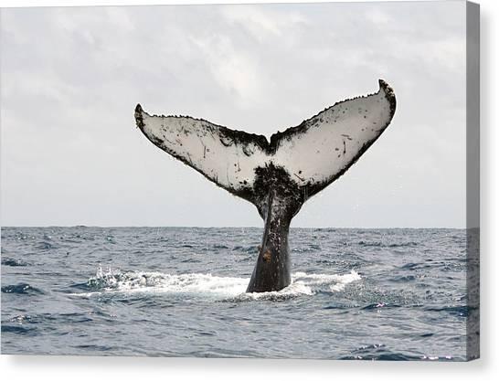 Ecuadorian Canvas Print - Humpback Whale Tail by Photography by Jessie Reeder