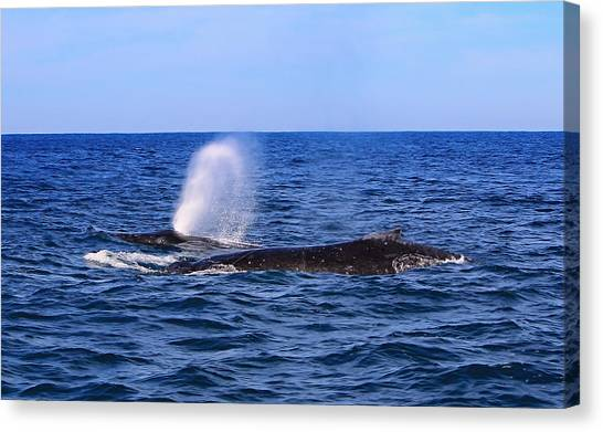 Humpbacks Canvas Print