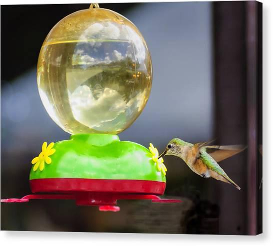 Hungry Hummingbird Canvas Print by Sandra Welpman